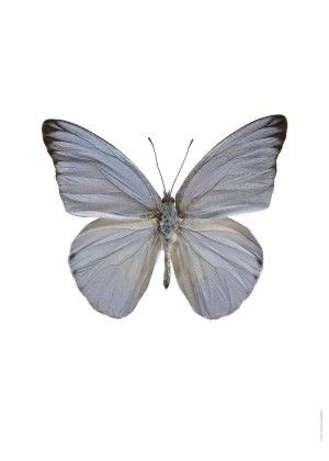light blue grey butterfly