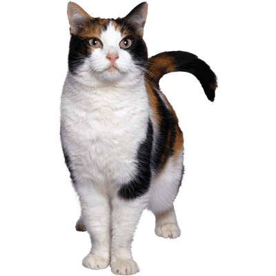 Cat Ginger transparent PNG - StickPNG