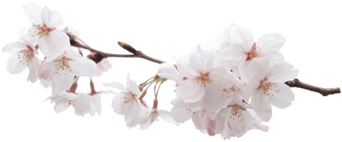 Japanese Flowering Cherry PNG Pic | PNG Mart