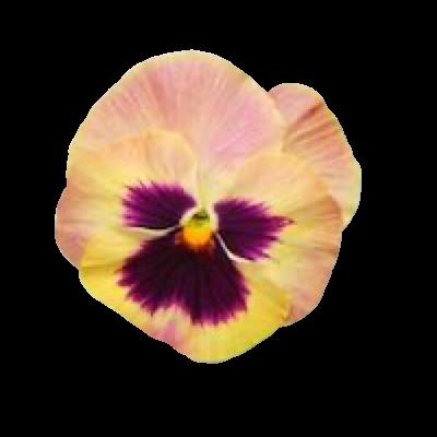 yellow purple png filler