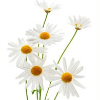 Meaning of Daisies | What do Daisy Flowers Mean?