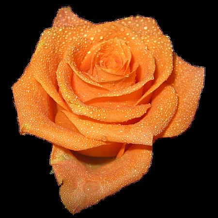 sticker tumblr trendy aesthetic orange rose rainy free...