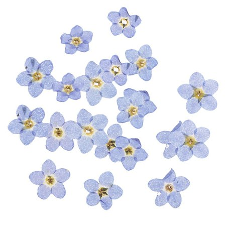 20 Pieces Natural Forget-me-not Flowers Pressed Dried Flowers for Art Craft | Wish