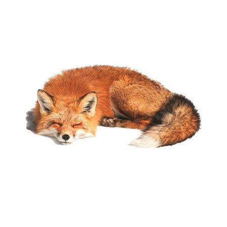 orange fox png filler