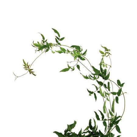Jasmine Vine – Bloomingmore