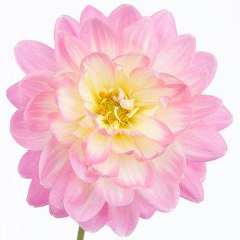 Dahlia Flower Light Pink Snow Petals   FiftyFlowers.com